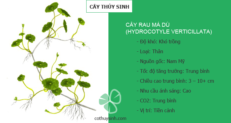 cay-rau-ma-du-featured