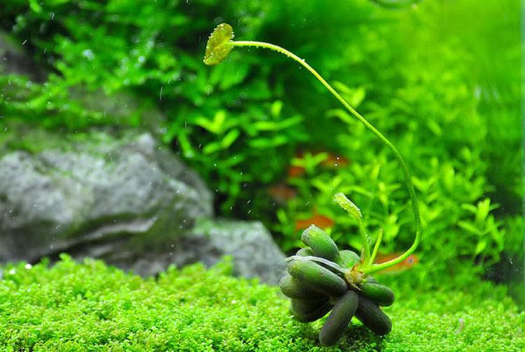 cay trang chuoi - nymphoides aquatica