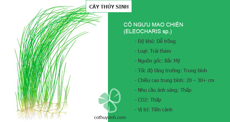 co-nguu-mao-chien-featured