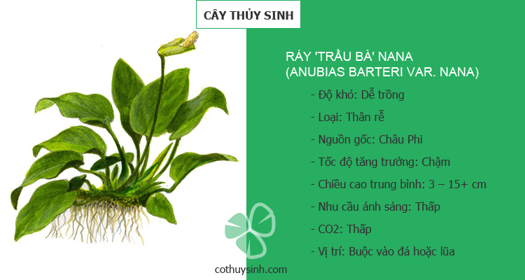 ray-trau-ba-nana-featured
