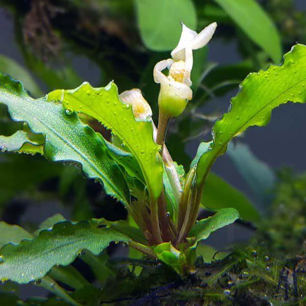 Bucephalandra-Wavy Green-02